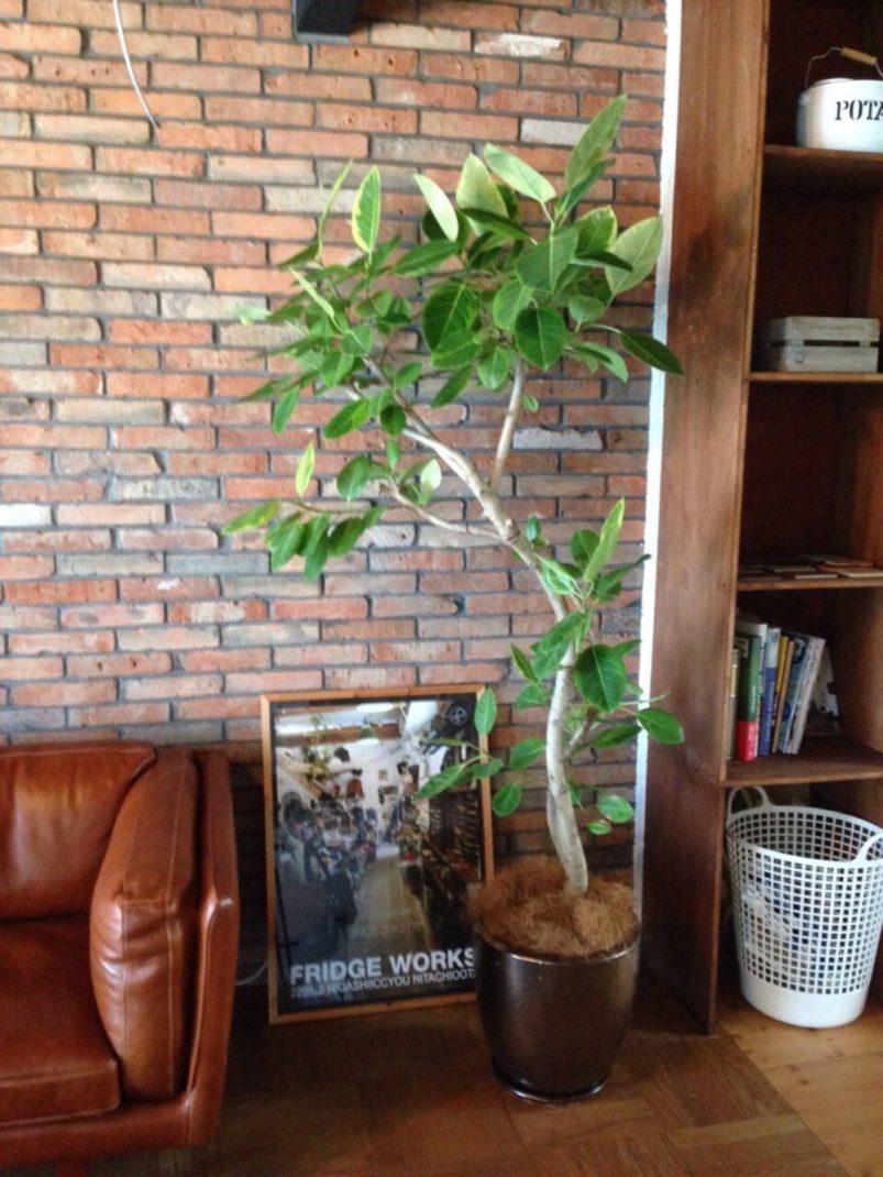 ゴム系の観葉植物